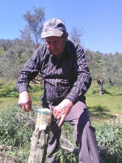 Wild tree grafted into cultivated Koroneiki variety by our  father